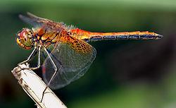 external image dragonfly.jpg
