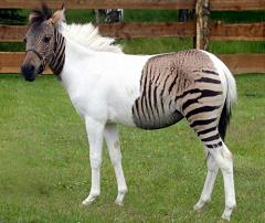zorse cross between zebra and horse