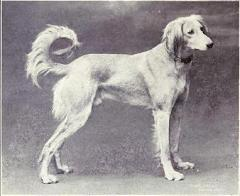 Gazelle Hound from 1915