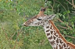 giraffes eat twigs and leaves