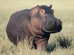 hippos don't sweat blood