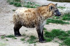 hyenas are not related to dogs