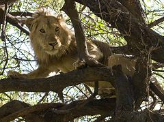 tree climbing lion in Tanzania East Africa