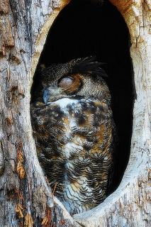 owl in its nest